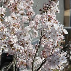 いわき市富ヶ浦公園花見用電飾工事